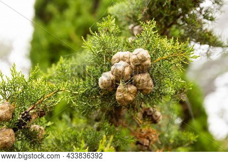 Mediterranean Cypress Young Foliage And Cones Cupressus Sempervirens Italian Cypress Tuscan Cypress