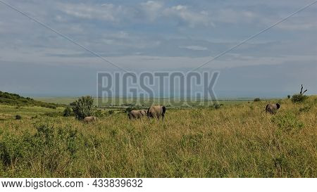 A Family Of Elephants Walks In The Endless African Savanna Among The Tall Yellowed Grass. There Are