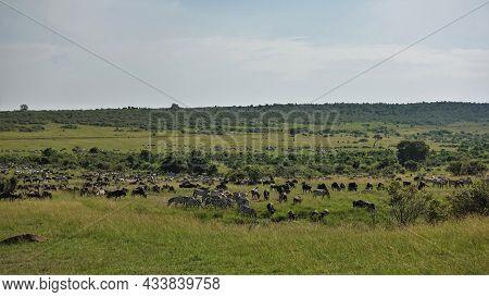 Countless Herds Of Herbivores In The African Savanna. Wildebeest And Zebras Graze On The Green Grass