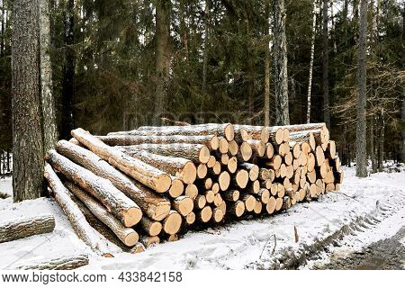 A Wood Material Logging. Round Timber Stock. Lumber-camp Of Pine. Mass Deforestation. Freshly Cut Tr