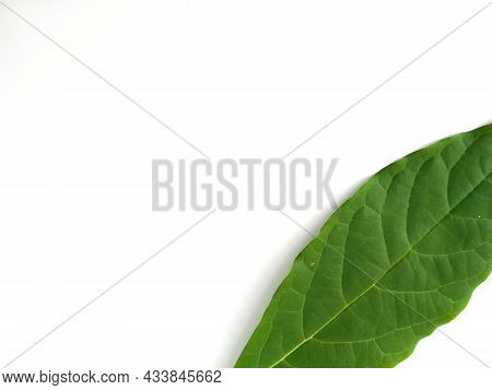 Green Leaves Isolated On White Background. Avocado Leaf Lies On White Surface. Natural Background. L