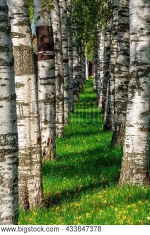 Birch Alley In The Autumn. The Trees Stand In A Row. Green Grass With Yellow Leaves Among A Birch Gr