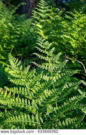 Common Sword Fern, Boston Fern Nephrolepis Exaltata Lomariopsidaceae Indusium. Green Leaves Trees Ha