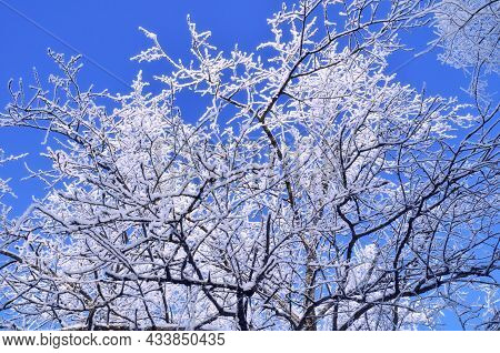 Winter background - frosty winter branches of the winter tree on the background of the blue sky, winter tree, winter forest, winter sunny landscape, winter background, frosty winter trees, snowy winter park scene