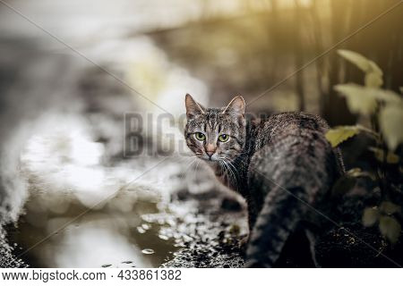 Portrait Of A Striped Cat In Nature. Homeless Street Cat Is Standing On The Wet Asphalt Next To Pudd