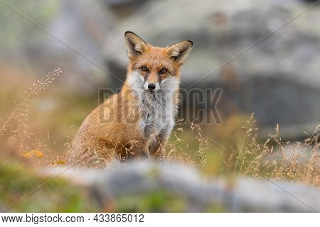 Portrait Of A Red Fox Vulpes Vulpes Sitting In Grass Looking In Camera