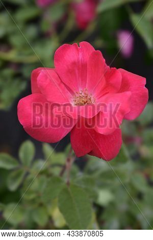 Rose Knock Out Flower - Latin Name - Rosa Knock Out