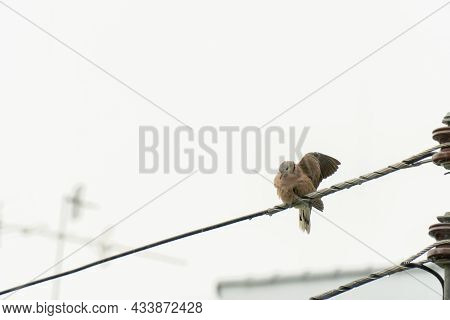 The Dove In The City Perched On The Power Line To Dry Its Wings After The Rain.