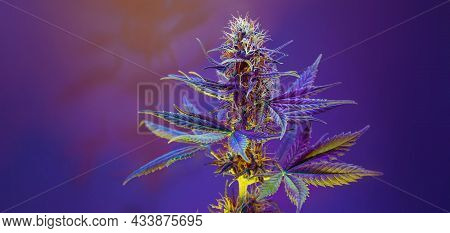 Purple Cannabis Fowering Plant On Purple Violet Background. Long Horizontal Banner With Colored Mari