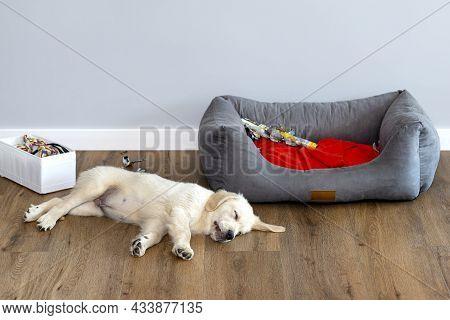 Golden Retriever Puppy Sleeps On Modern Vinyl Panels In The Living Room Of A House Near The Playpen,