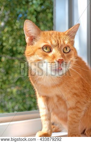 Red Cat Sitting On The Window. Cat Would Like To Walk Outdoor. Cat Sitting Near Opened Window. Safet