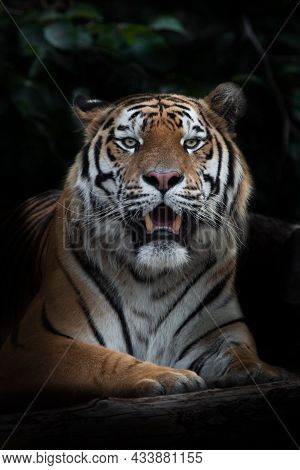 Fanged Mouth Ajar Sitting Tiger, Amur Tiger, Black Background Stick In The Dark Background With Leav