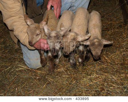 Quadruplet Lambs