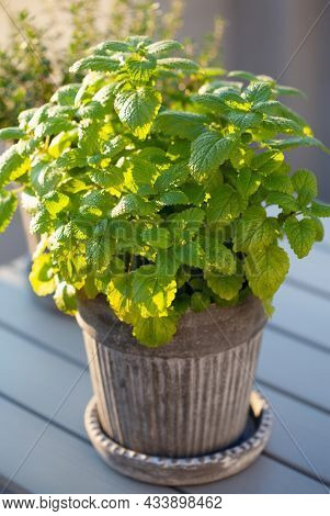 lemon balm (melissa) and thyme herb in flowerpot on balcony, urban container garden concept