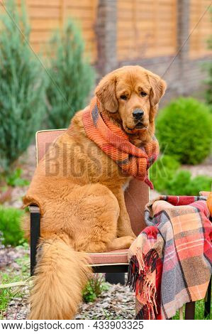 The Dog Sits On A Chair In The Yard Next To A Woolen Blanket. Funny Portrait Of A Dog In Autumn. Ver