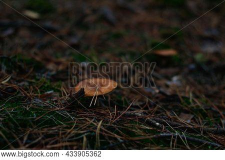 Defocus Russula Poisonous Mushroom (milkcap) Among Dry Grass, Leaves And Needles. Fungus Mushroom Gr