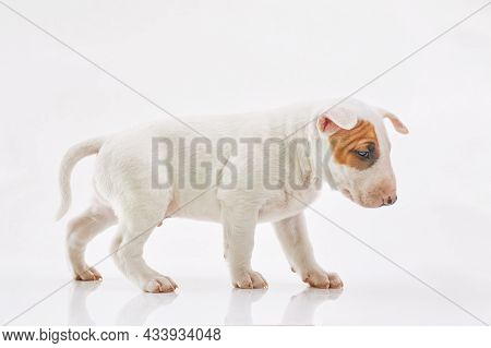 Bull Terrier Dog Isolated On Grey Background. Studio Portrait. Miniature Bull Terrier Puppy Posing O