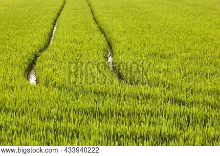 Green Rice Plantation In La Albufera Marsh. Valencia. Spain