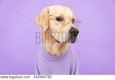 A Dog With Glasses And A Purple Sweater Sits On A Purple Background. Fashionable Golden Retriever Dr