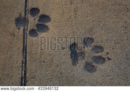 Dog Tracks Are Imprinted In The Road Surface. Close-up.