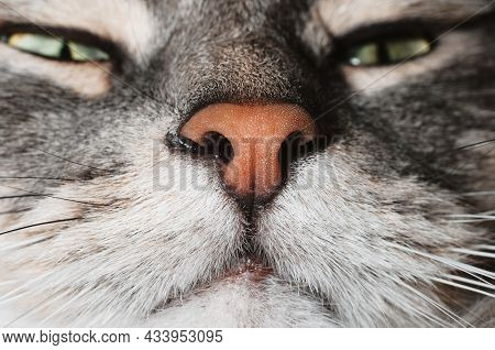Close-up Of Muzzle Gray Fluffy Green-eyed Cat, Macro Photography Pink Nose. Cat Is Sniffing. Selecti