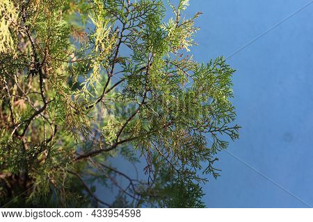 Branch Of Young Cypress Tree On Blurred Blue Background, Greece, Halkidiki, Arnaia