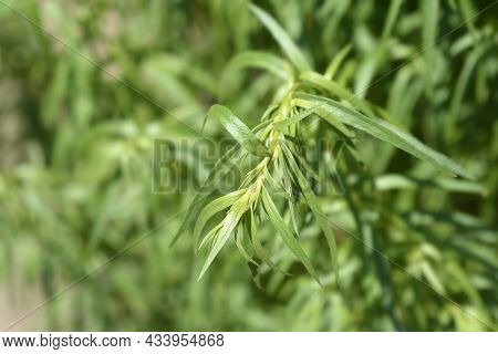 Tarragon Leaves - Latin Name - Artemisia Dracunculus