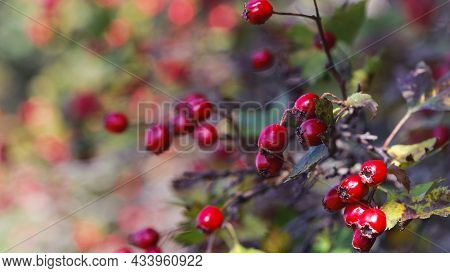 Crataegus. Autumn Forest Red Berries On A Branch. Close-up Of Ripe Winter Fruits Of Red Hawthorn Wit