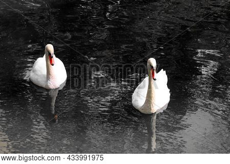 Black And White Photo With White Swans With Red Beaks On Black Background In Style Of Old Black And