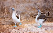 Couple of blue footed boobies performing mating dance poster