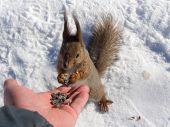 squirrel eating seeds from a palm in winter poster