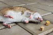 Rat poisoned by toxic bait lying on the floor poster