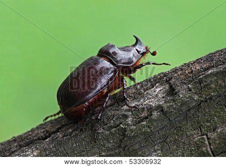 Unicorn Beetle