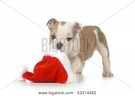 christmas puppy - english bulldog puppy carrying santa hat isolated on white background - 7 weeks old