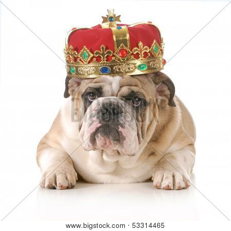 dog wearing crown - english bulldog wearing king's crown laying looking at viewer isolated on white background poster