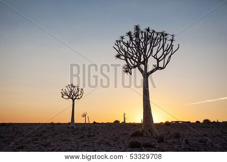 Two Quiver Trees Silhouetted Against The Sunset