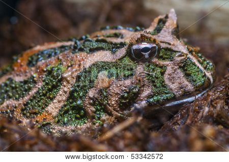 South American Horned Frog - Ceratophrys Cranwelli