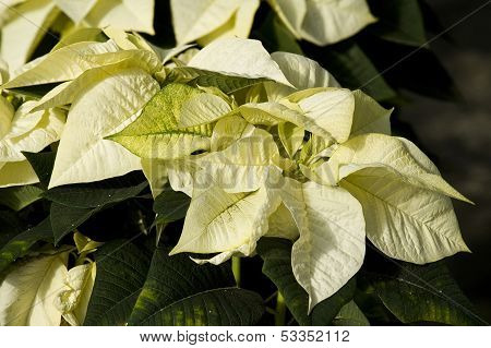 white poinsetta plants