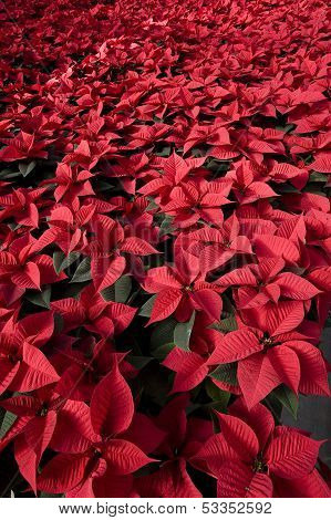 red poinsetta plants
