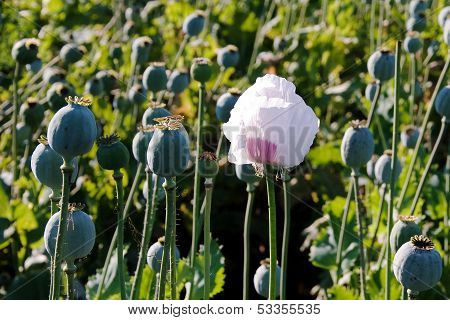 Poppy head with one delayed