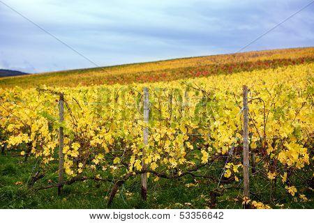 Mosel Vineyards Region In Autumn In Germany .