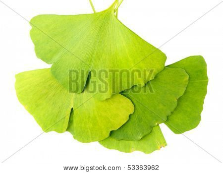Ginkgo biloba leaves isolated on white