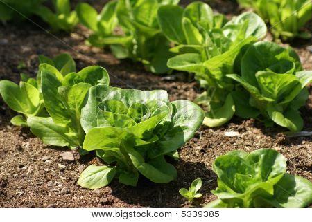 Lettuce Growing In Land/ Field/ Vegetable Garden