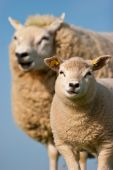 Mother sheep and her lamb in closeup poster