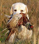 portrait of hunting yellow labrador with pheasant poster