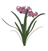 One pink lily on a white background poster