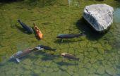 Koi carp in the waters of a shady pond ay Koko-En Gardens in Himeji Japan poster