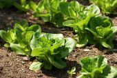 Lettuce growing in land field or vegetable garden. Agriculture poster