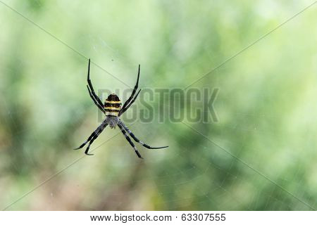 Argiope Sp. Spider From South Korea