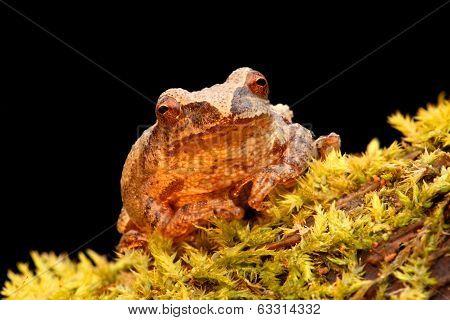 Spring Peeper (Pseudacris crucifer) on a log